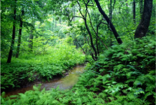 Fern forest and creek